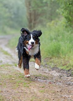 Junger Berner Sennenhund/ Young Bernese Mountain Dog | Flickr - Photo Sharing!