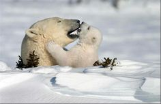 Save The Planet  Let this be a sight to see forever.. Mother & Cub Polar bears, emerging from winter hibernation.