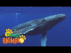HUMPBACK WHALES | Animals for children. Kids videos. Kindergarten | Preschool learning - YouTube