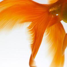 #Orange goldfish tail #ColoroftheWeek 8/26/2013
