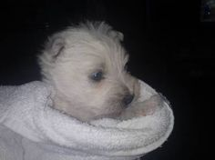 Cute Westie Puppies for sale on Vivastreet! Adorable...