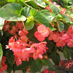 Dragon Wing Pink Begonia from Proven Winners