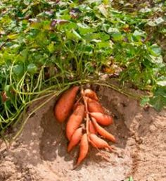 sweet potato- recipes and how to grow.