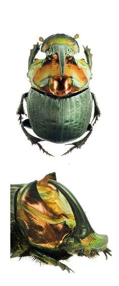 Sulcophanaeus auricollis  –  SCARABIDAE; Family SCARABAEINAE