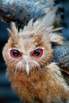 Philippine Eagle-Owl owlet assuming a defensive posture. Pinned by www.myowlbarn.com