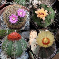 Los cactus son las principales plantas en los jardines xerófilos