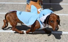 Some seemed a bit timid. | 15 Pictures Of Wiener Dogs In Costumes Having The Time Of Their Lives