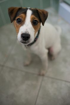 staring .. want sth...yeah? jrt #jackrussell