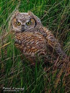 Baby Great Horned Owl | Flickr - Photo Sharing!