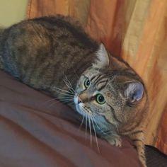 Диагонально-игрищные фотки #dashkathecat #cat #playcat #catathome #cats_ingram #catstagram #cats #catplanet #дашка #кошка #мурмурмур #игрища #пробежка #юпи #коты #кошки #котэ #котаны #cats_and_dogs #cats_and_kittens
