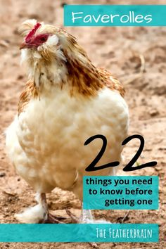 Find out if Faverolles chickens are the right breed for you. See what these chickens look like in Salmon and other varieties (with pictures and videos of hens, roosters, and chicks), and learn how many eggs they lay. Discover if this beautiful and friendly heritage breed is right for you! Types Of Chickens, Raising Chickens, Broody, Chicken Breeds, Chicken Eggs, Chickens Backyard, Hens, Need To Know, Roosters