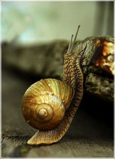Snail.. land snails that have only a very small shell (that they cannot retract into) are often called semislugs
