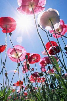poppy - my favourite flower