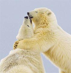 Estes ursos polares peludos adoraram o abraço