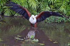 African Fish-Eagle by Kevin B Agar, via Flickr