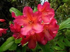Thank you for taking a look at one of our several hundred Hybrid Rhododendrons we have for sale on Etsy and our website! At RhododendronsDirect.com, all we do is Rhododendrons!  Product Description    Bloom Color:  Red    Bloom Season:  Mid-Season    Plant Height(potential in 10 years): Three Feet    Hardy to:  0    Container Size/Age:  Five Gallon Plant -  These rhododendrons are typically rooting into a five gallon container or have spent two or more years as a field grown plant. They can…