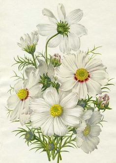 White cosmos:    http://www.lilac-n-lavender.blogspot.com/2012/01/springtime-gift-tags.html