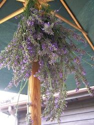 Tips for drying lavender