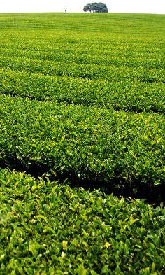 Green tea farm (by floridapfe, via Flickr)