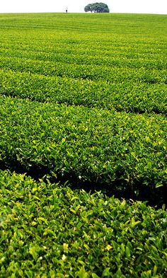 Green tea farm (by floridapfe, via Flickr)