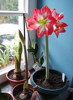 To Induce Growth: Amaryllis in nursery pots need only a thorough watering to begin growing. Amaryllis shipped with potting mix require potting. It's also possible to grow Amaryllis in pebbles and water.