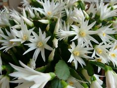 Hatiora x graeseri (Easter Cactus) is a freely branching, shrubby, pendent cactus, producing stems with flat, mid-green segments...