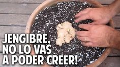 Como plantar jengibre en maceta - How to grow ginger in a container @cos...