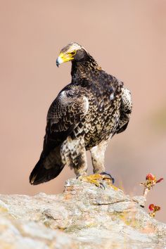 Juvenile Black Eagle Giants Castle Nature Reserve, Drakensberg, South Africa Different Types Of Eagles, Black Eagle, Flightless Bird, Wildlife Nature, Exotic Birds, African Safari, Birds Of Prey, Nature Reserve, Bird Species