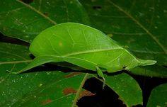 Spike-headed false-leaf katydid, Aegimia elongata