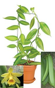 Variegated Vanilla $17.95 | Grow your own vanilla beans and enjoy the variegated foliage for a spectacular ornamental display. This member of the orchid family produces a bean that, when cured, reveals the delicious flavoring so coveted by bakers.