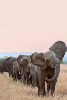 elephant conga
