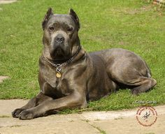 Gorgeous Cane Corso ....0hhhh my I want this puppy