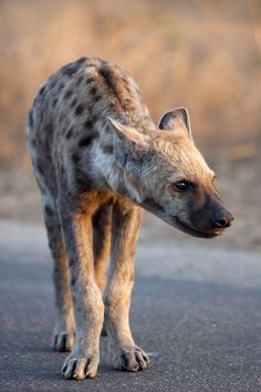 """Bad Hyena by Rob Schleiffert  """""""
