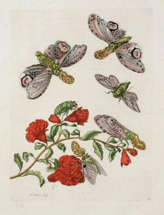 Maria Sibylla Merian - Lantern Fly with Pomegranite Flower - From Metamorphasibus Insectorum Surinamensis Antique Illustration, Botanical Illustration, Sibylla Merian, Butterfly Painting, British Library, Fauna, Antique Prints, Gravure, Science And Nature