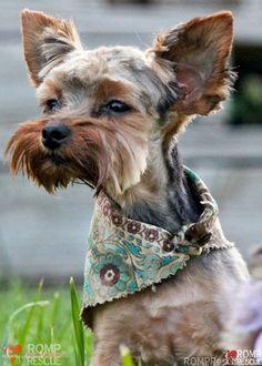 Pet adoption yorkshire terrier puppy