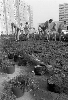 Bewohner der Bärensteinstraße im Ostberliner Neubaugebiet Marzahn sind am 07.08.1982 damit beschäftigt, vor ihren Häusern Grünflächen anzulegen und Sträucher und Bäume zu pflanzen.   Bildrechte: dpa