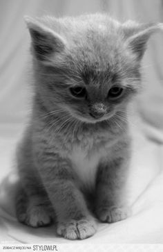 #Grey #gray #kitten ~ I have no words to express how adorable this little guy is! ^^