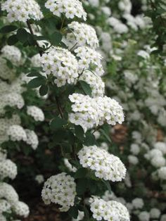 46 best may flowers images on pinterest in 2018 flower farm cut spirea i have to get one of these it was one of my favorite bushes mightylinksfo