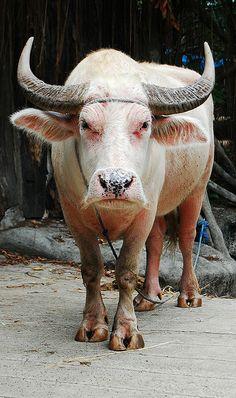 Bull - Albino