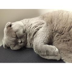 Galileo  January 2016 #eurekaandgalileo #galileocatporto #scottishfold #scottishfoldcat #scottish_fold #scottishcat #pet #petlover #cat #catlover #cats_of_instagram #catsofinstagram #instacat #instacats #kitten #gato #gatosdeinstagram #kot #γάτα #chat #gatto #猫 #macska #貓 #kat #katt #katzeeurekaandgalileo2016/02/22 03:59:35