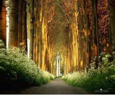 Túnel de árvores, Holanda