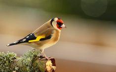 Щегол. Пение щегла. Goldfinch. Chardonneret.
