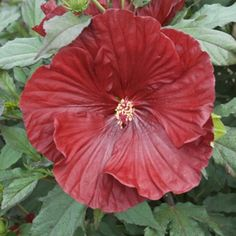 Proven Winners - Summerific® 'Cranberry Crush' - Rose Mallow - Hibiscus hybrid red plant details, information and resources. Hibiscus Flowers, Exotic Flowers, Red Flowers, Beautiful Flowers, Purple Hibiscus, Tropical Flowers, Garden Shrubs, Flowering Shrubs, Garden Plants