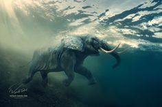 Swimming Elephant Underwater. African elephant in ocean with sunrays and ripples at water surface. © Vitaliy-Sokol.com My socials: VK: vk.com/vitaly_sokol FB: facebook.com/VitalySokol LJ: vita...