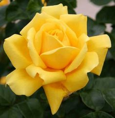 Yellow Rose via Lovely Roses Facebook page