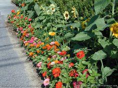 Zinnias, Florida, Garden Ideas, Gardening, Inspiration, Plant, Biblical Inspiration, Garten, Lawn And Garden