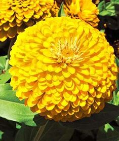442 best zinnia images on pinterest in 2018 cut flowers annual have an endless bounty of enormous double flowering yellow zinnias mightylinksfo