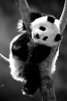 Panda Bears are so cute
