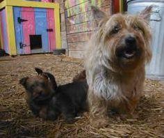 Cairn mum & puppies...