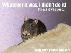 Guilty - cute rat